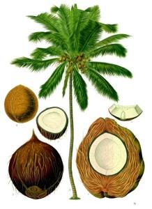 The Coconut - Cocos_nucifera