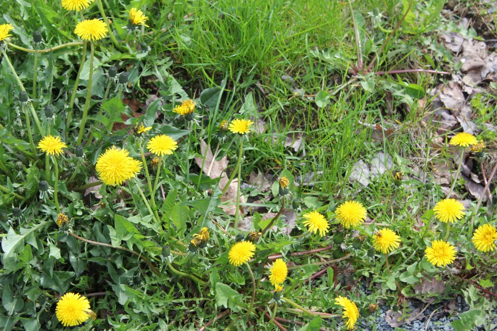 dandelions are not a weed